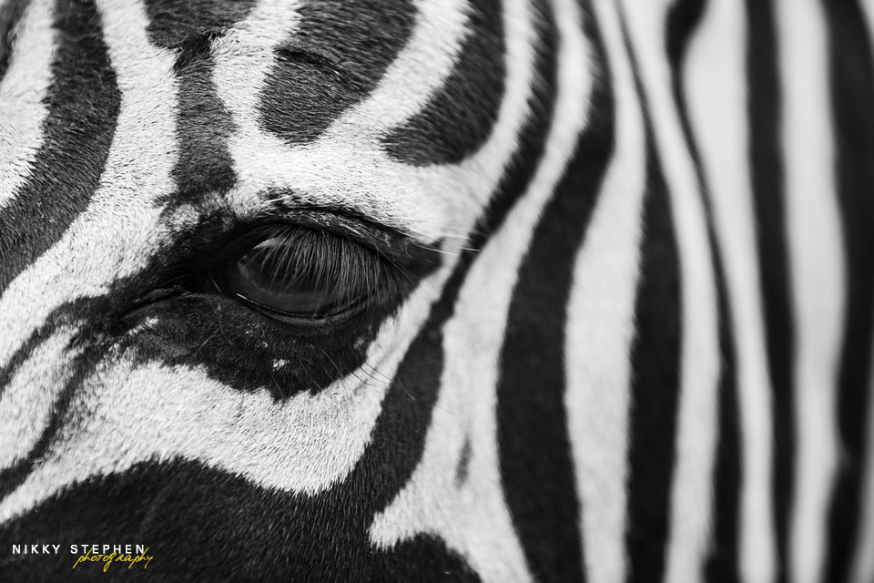 Zebra_1 by Nikky Stephen