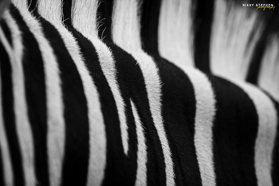 Zebra_2 by Nikky Stephen